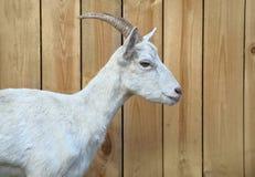 Casa della capra Sparando all'aperto, animali da allevamento Priorità bassa di legno Immagini Stock Libere da Diritti