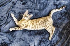 Casa eccellente dell'occhio azzurro del gatto di bellezza del Bengala Immagine Stock