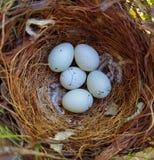 Casa Finch Eggs Fotografía de archivo libre de regalías