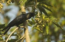 Casa indiana crow-3a imagens de stock