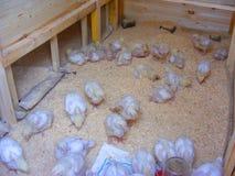 Casa ou plumagem de madeira nova da galinha interna Fotos de Stock