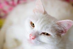 Casa persa soñadora Cat Portrait imágenes de archivo libres de regalías