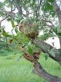 Casa rossa delle formiche sull'albero di mango carta da parati del fondo della natura, Fotografie Stock Libere da Diritti