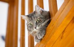 Casa siberiana grigia di controllo del gatto Fotografie Stock