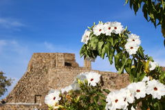 Casahuate Flowers focused ahead of a Mexican Temple. Uncultivated flowers blooming in front of an ancient Zapotec structure on Monte Alban near Oaxaca, Mexico Stock Photography
