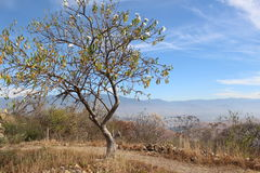 Casahuate Tree at Monte Alban. A Casahuate Tree on Monte Alban with Oaxaca in the distance Royalty Free Stock Photo