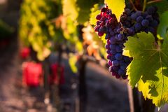 Casale Marittimo, Tuscany, Italy, view from the vineyard on sept. Casale Marittimo, Tuscany, Italy, view across the vineyards on sunset lights Royalty Free Stock Photo
