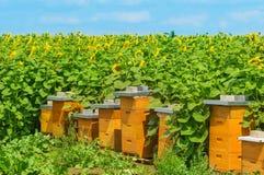 Casas de abeja por el campo del girasol Fotos de archivo libres de regalías