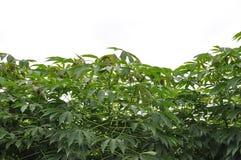 Casava Baum Lizenzfreies Stockbild