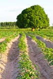 Casava farmland Royalty Free Stock Photography