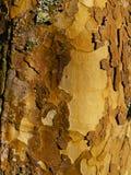 Casca, árvore plana de Londaon, fundo imagem de stock royalty free