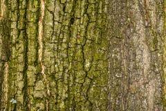 Casca áspera de uma árvore grande 6 imagens de stock royalty free