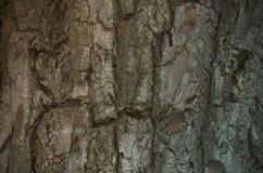 Casca bonita do ` s da árvore Imagens de Stock