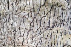 Casca cinzenta de uma árvore Imagem de Stock