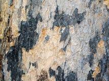 Casca colorida de uma grande árvore 1 imagens de stock