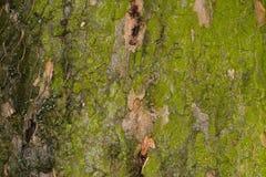 Casca colorida de uma grande árvore com líquene 2 imagens de stock royalty free