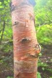 Casca da árvore de Bhoj Patra & do x28; Bétula Utilis& x29; , Himalaya, Uttarakhand, Índia Imagens de Stock Royalty Free