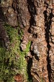 Casca da árvore de pinho Imagem de Stock Royalty Free