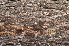 Casca da árvore de pinho Imagem de Stock
