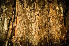 Casca da árvore de pinho Fotos de Stock