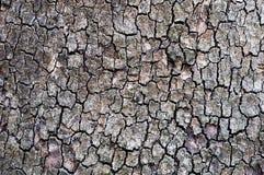 Casca da árvore de pinho grande velha Fotos de Stock