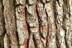 A casca da árvore velha Fundo Fotografia de Stock Royalty Free