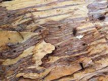 A casca da desintegração do eucalipto imagem de stock