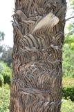Casca da palma de data imagem de stock
