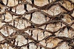 Casca da palmeira Foto de Stock