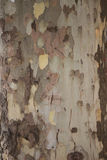 A casca da árvore de bordo velha Fotografia de Stock Royalty Free