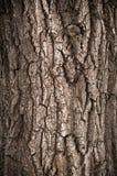 Casca da árvore de carvalho Fotos de Stock