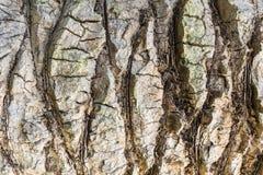 A casca da textura da palmeira Close up da casca do fundo Imagem conservada em estoque imagens de stock royalty free