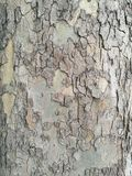 Casca de árvore áspera fotos de stock