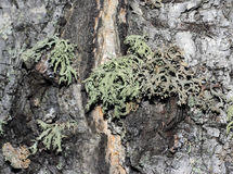 Casca de árvore coberta com o musgo Foto de Stock