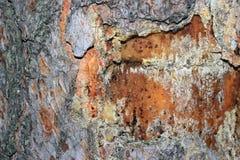 Casca de árvore coberta com o musgo Imagem de Stock