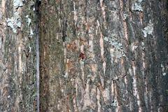 Casca de árvore coberta com o musgo Imagens de Stock Royalty Free