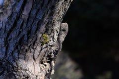 Casca de árvore com neve no fundo obscuro Imagens de Stock