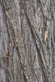 Casca de árvore da acácia Imagem de Stock Royalty Free