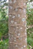 Casca de árvore da papaia Foto de Stock