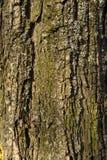 Casca de árvore da textura Imagem de Stock Royalty Free