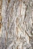 Casca de árvore de Catalpa Imagens de Stock Royalty Free