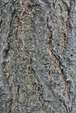 Casca de árvore do abricó Fotografia de Stock Royalty Free
