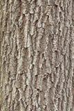 Casca de árvore do carvalho Foto de Stock Royalty Free