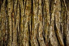 Casca de árvore do carvalho Imagem de Stock