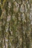 Casca de árvore do carvalho Imagens de Stock