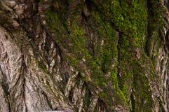 Casca de árvore do carvalho Fotos de Stock Royalty Free