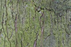 Casca de árvore do carvalho Foto de Stock