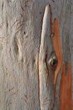 Casca de árvore do eucalipto Imagens de Stock