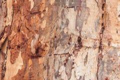Casca de árvore do eucalipto Fotografia de Stock