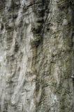 Casca de árvore do Hornbeam ou detalhe da textura de Rhytidome fotografia de stock